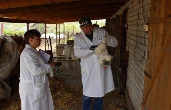 Как обнаружить и уничтожить пероедов у кур?