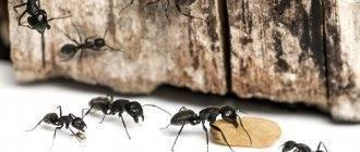 Как и где зимуют муравьи: спят в муравейнике или трудятся