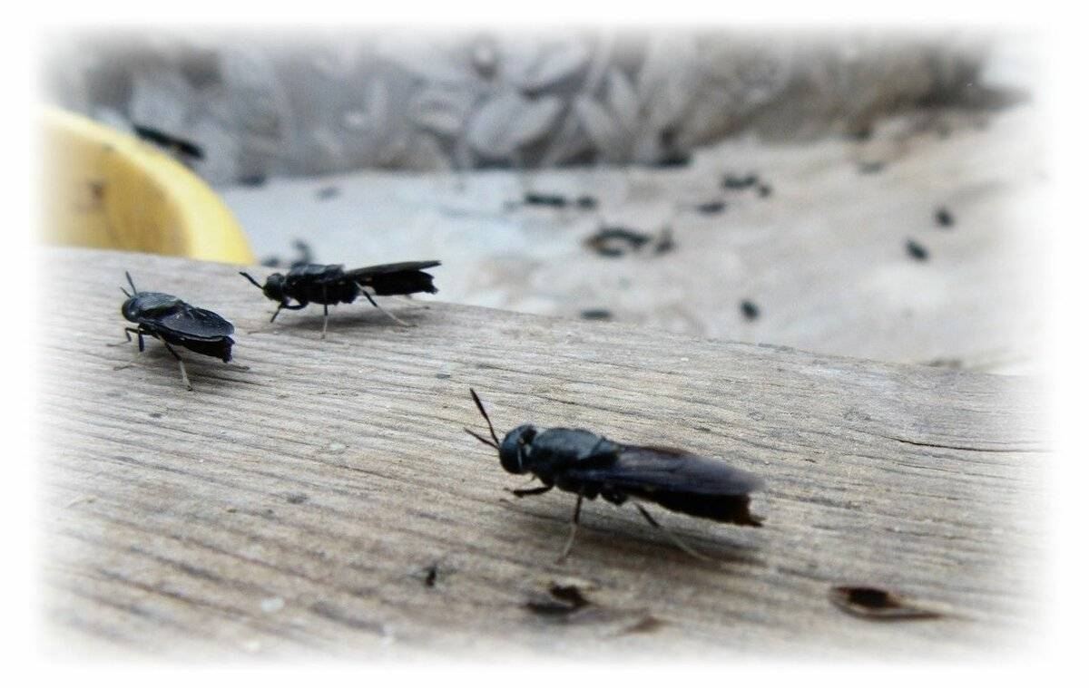 Чёрная львинка (black solder fly) — частный отзыв на собственном опыте