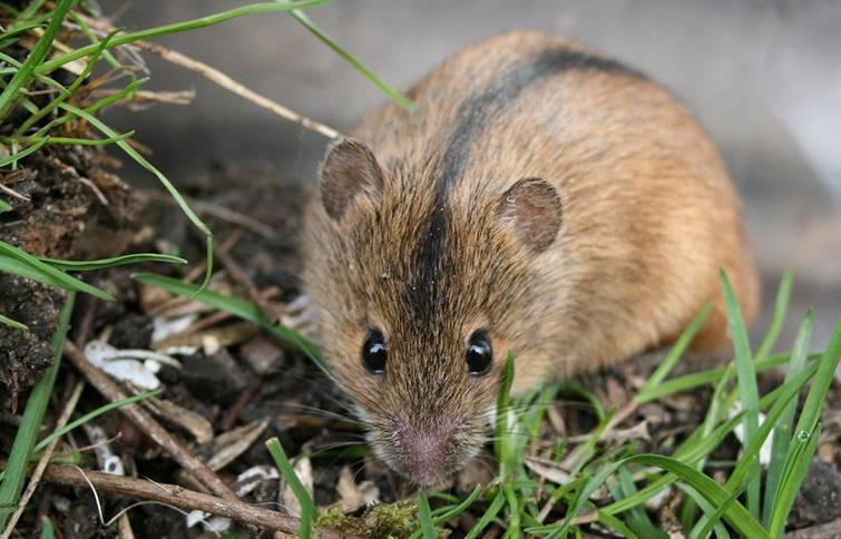 Опасность полевой мыши для урожаев. способы борьбы с полевкой