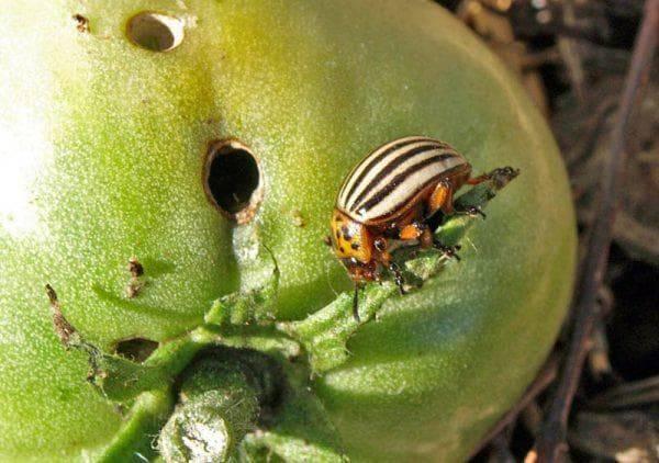 Горчица с уксусом — лучшее средство от колорадского жука