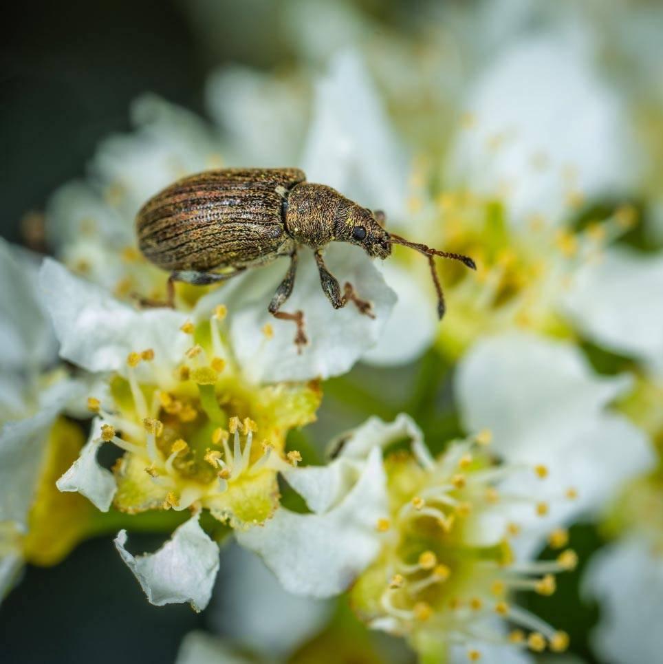 Яблонный цветоед проснулся! как защитить сад