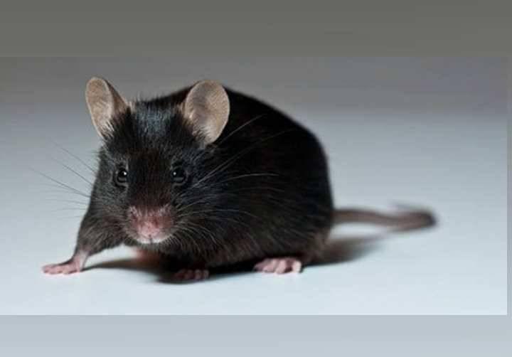 Сдохла мышь в доме — как избавиться от трупного запаха?