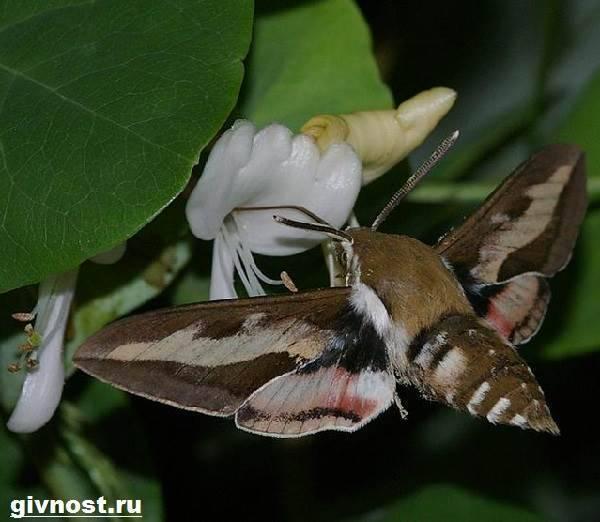 Красивейшие мотыльки планеты. бражник тополевый – ночная бабочка, которая не ест князь тьмы - устрашающее название, но красивое наполнение