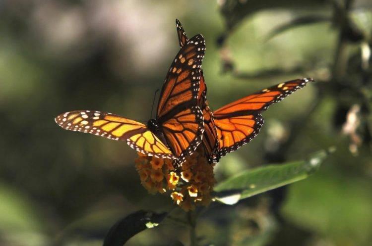 Бабочка траурница