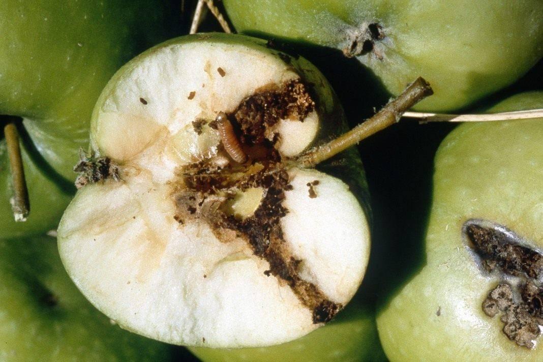 Яблонная плодожорка – как не остаться без яблок