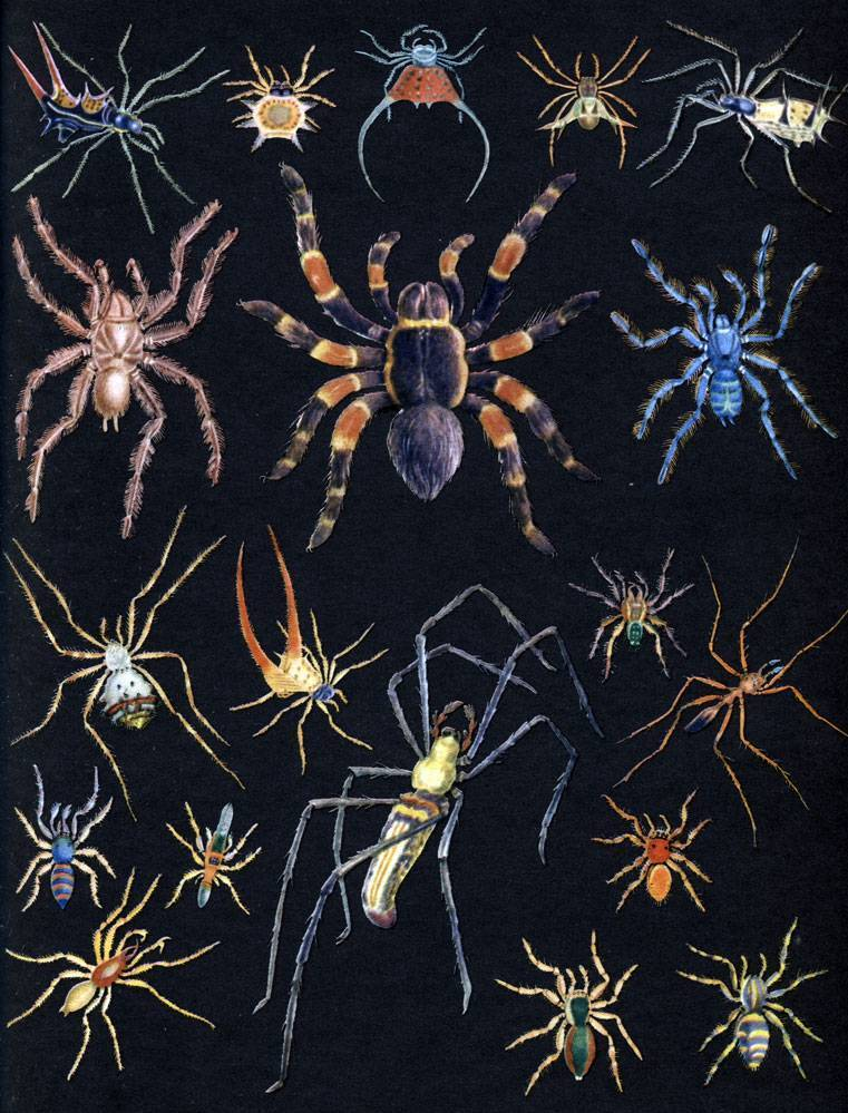 Муравьиный паук-скакун. паук-скакун – самый стремительный представитель своего семейства большой паук в квартире