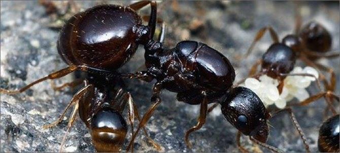Как устроен муравейник: внутреннее строение, жизнь и взаимодействие муравьев. строение муравейника формы гнезд муравьев