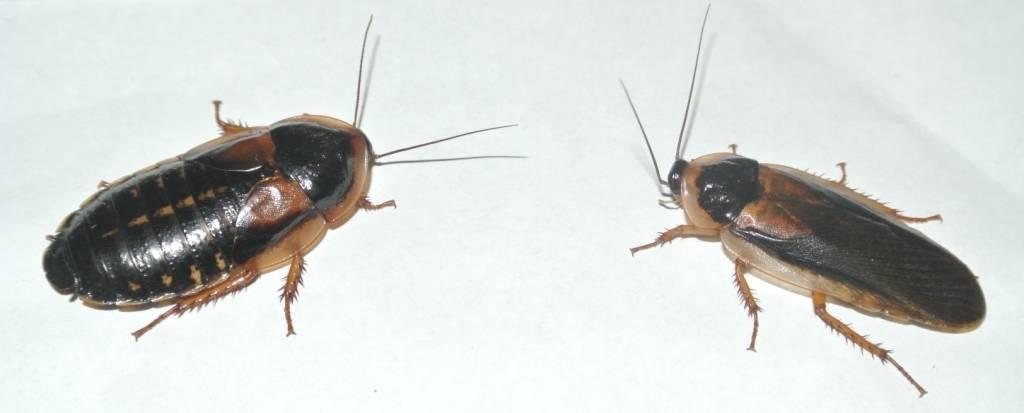 Мраморный кормовой таракан — отличная еда для ваших домашних варанов и ящериц