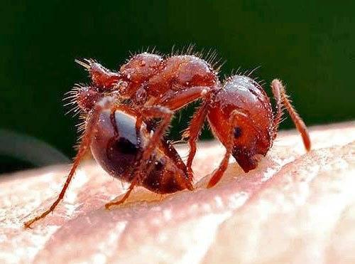 Как вывести рыжих муравьев в доме?