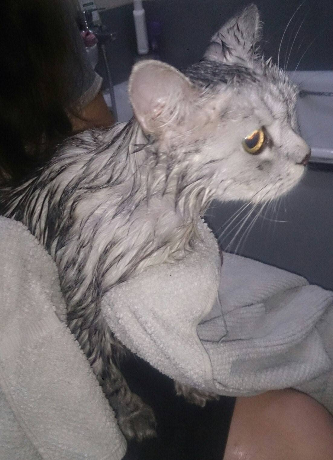Отравление котенка каплями от блох