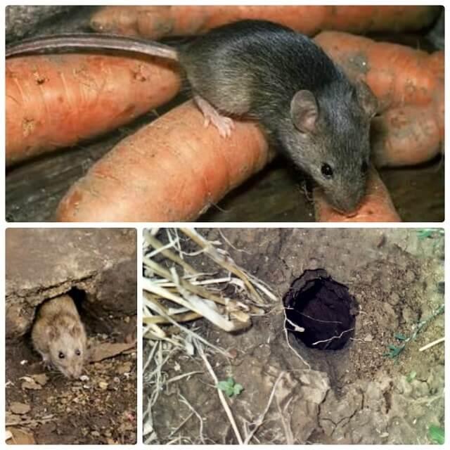 Земляная крыса в огороде