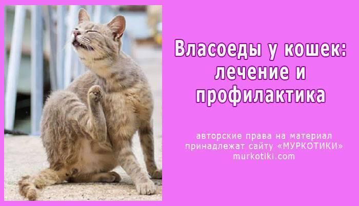 Пути заражения и способы лечения власоеда у кошек