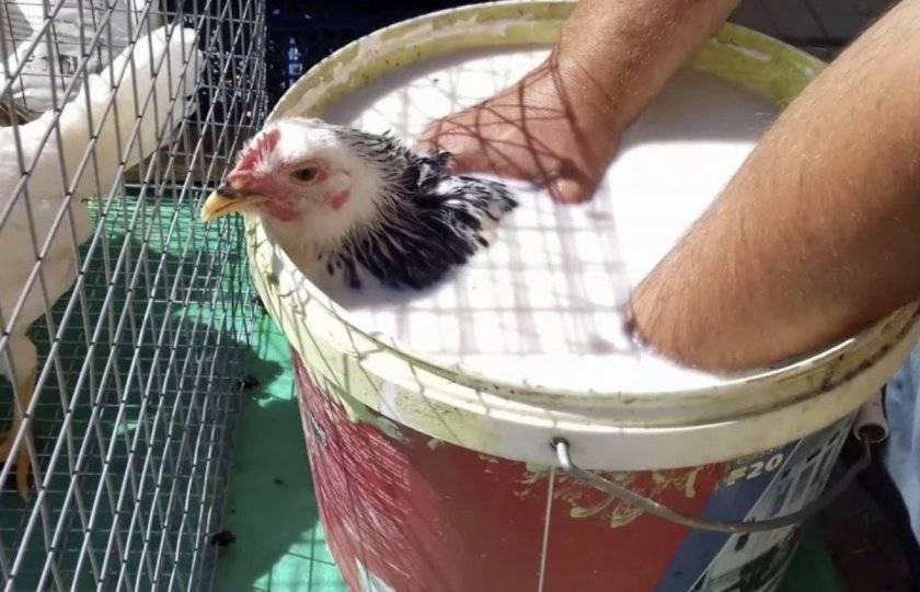 Самостоятельная борьба с пероедом у кур