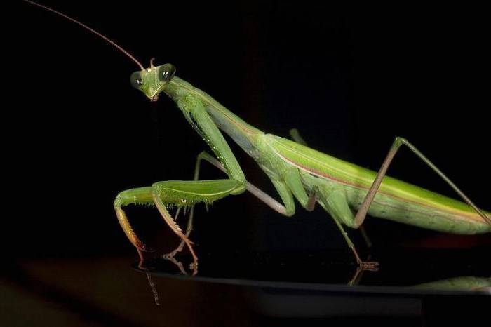 Где можно поймать богомола. богомол обыкновенный (mantis religiosa)