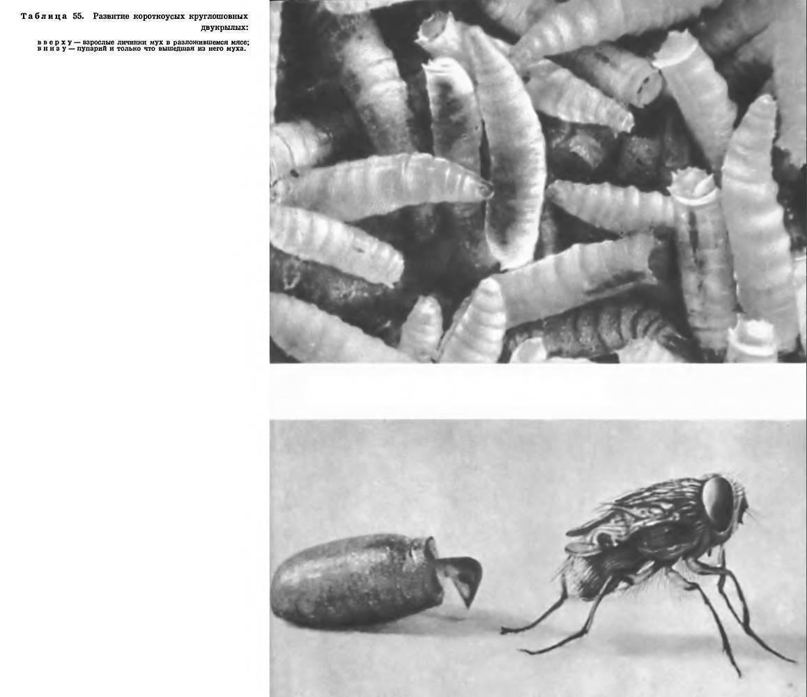 Вши (пухопероеды) у кур: как избавиться от паразитов