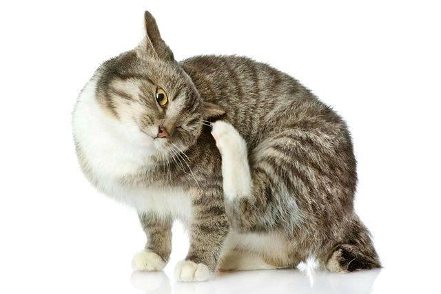 Как понять, есть ли блохи у кота или кошки