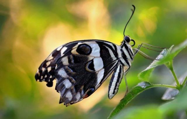 Бабочка адмирал крапивница траурница