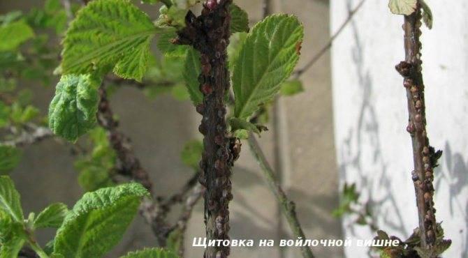 Болезни и вредители яблонь: фото, описание, средства борьбы