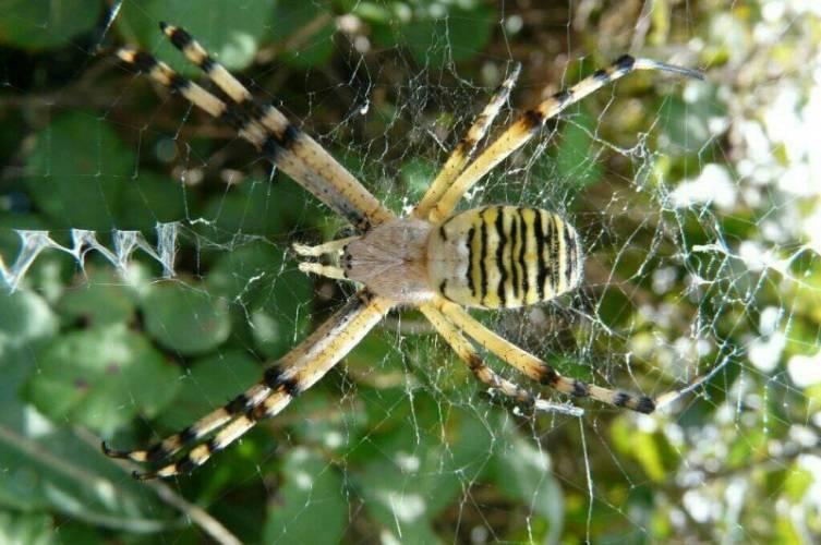 Желтый паук ядовитый или нет. симпатичный и коварный. паук с желтыми полосками. пауки прыгуны – salticidae