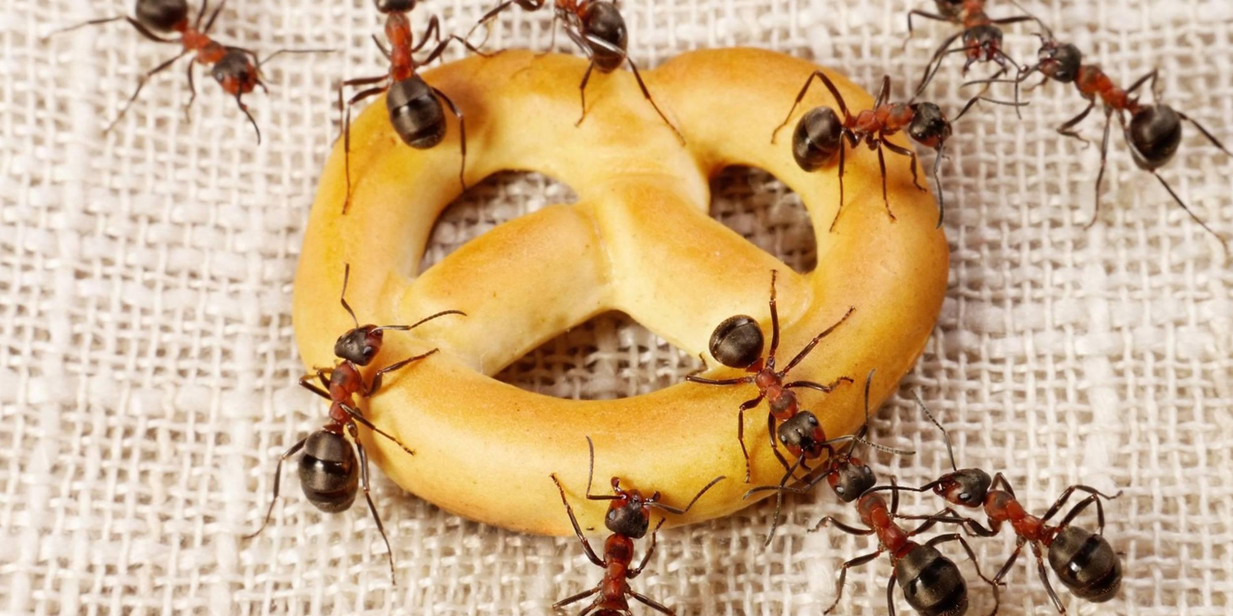 Методы борьбы с домашними муравьями