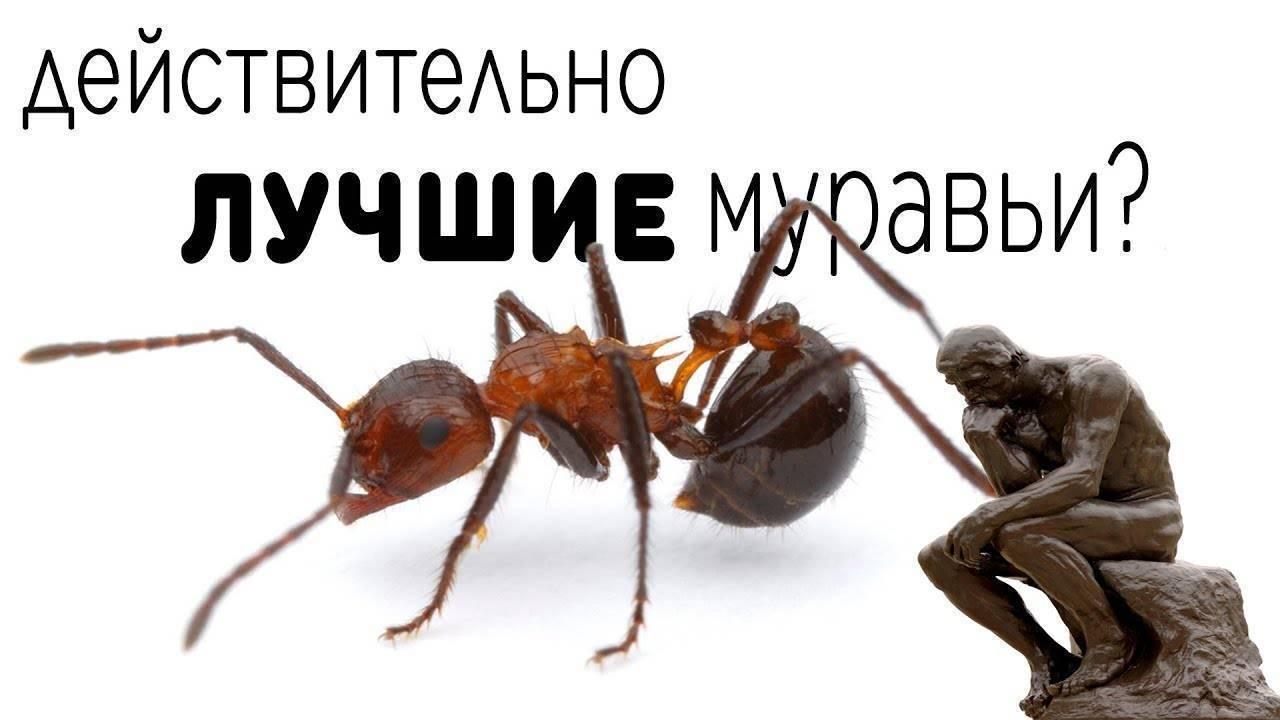 Самые ядовитые муравьи в мире. виды муравьев интересное видео: муравьи-убийцы в ритуале посвящения испытателя в мужчины