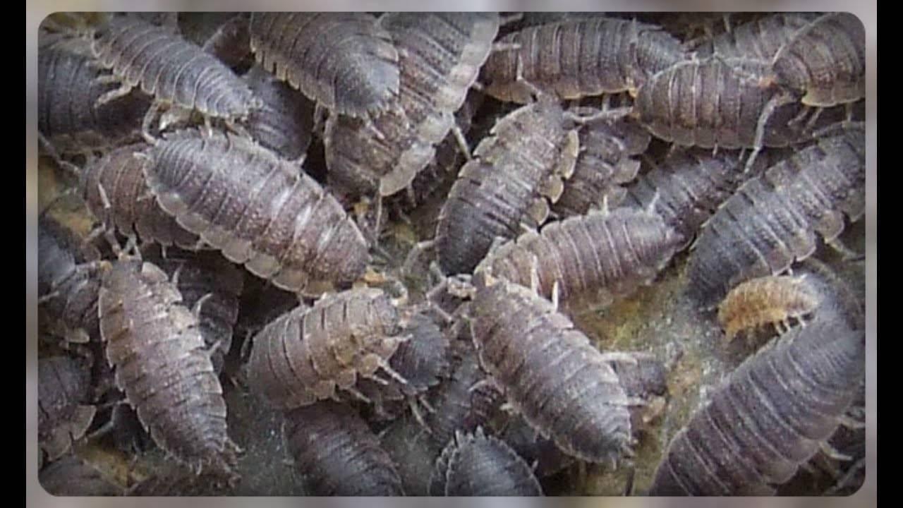 Мокрицы в квартире: как бороться с этими насекомыми