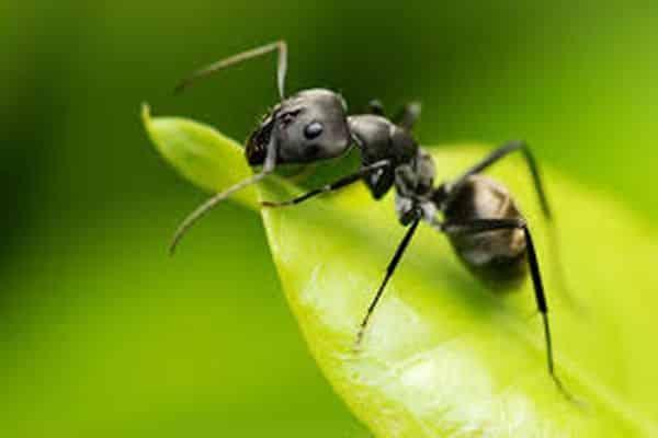 10 способов избавиться от муравьев на капусте