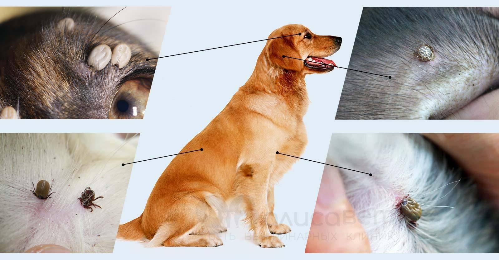 Виды клещей и заболеваний у собак - симптомы, лечение