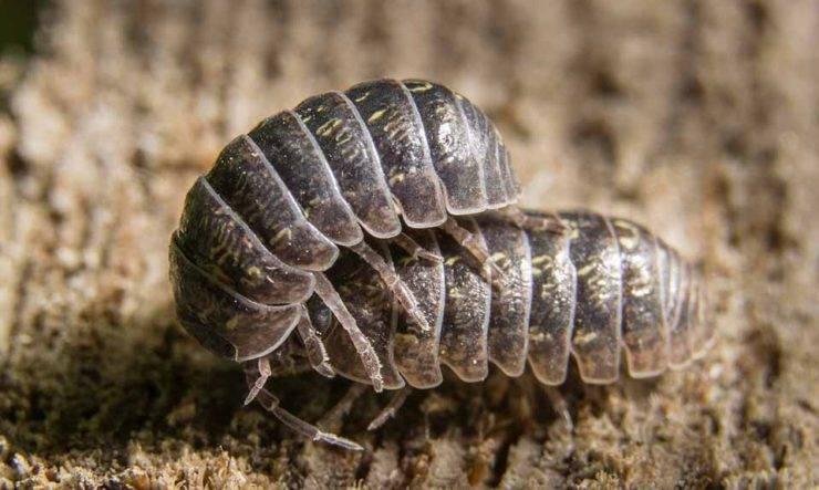 Мокрицы: классификация данных ракообразных и способы борьбы с насекомыми