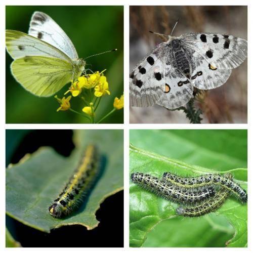 Как защитить капусту от налета бабочек капустниц