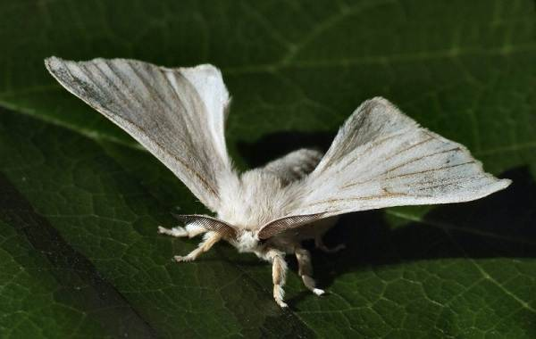 Жизненный цикл бабочки тутового шелкопряда