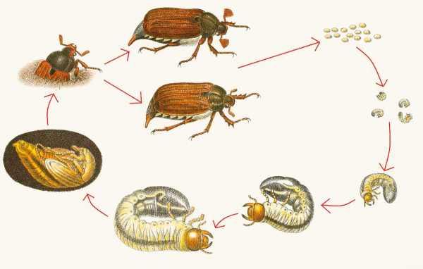 В чем видимые отличия личинок майского жука и медведки