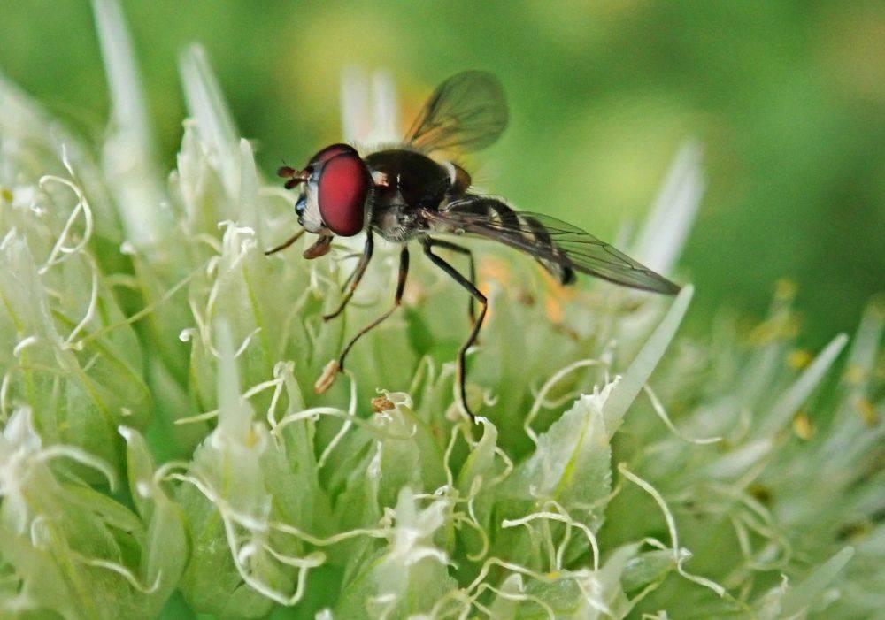 Борьба с луковой мухой