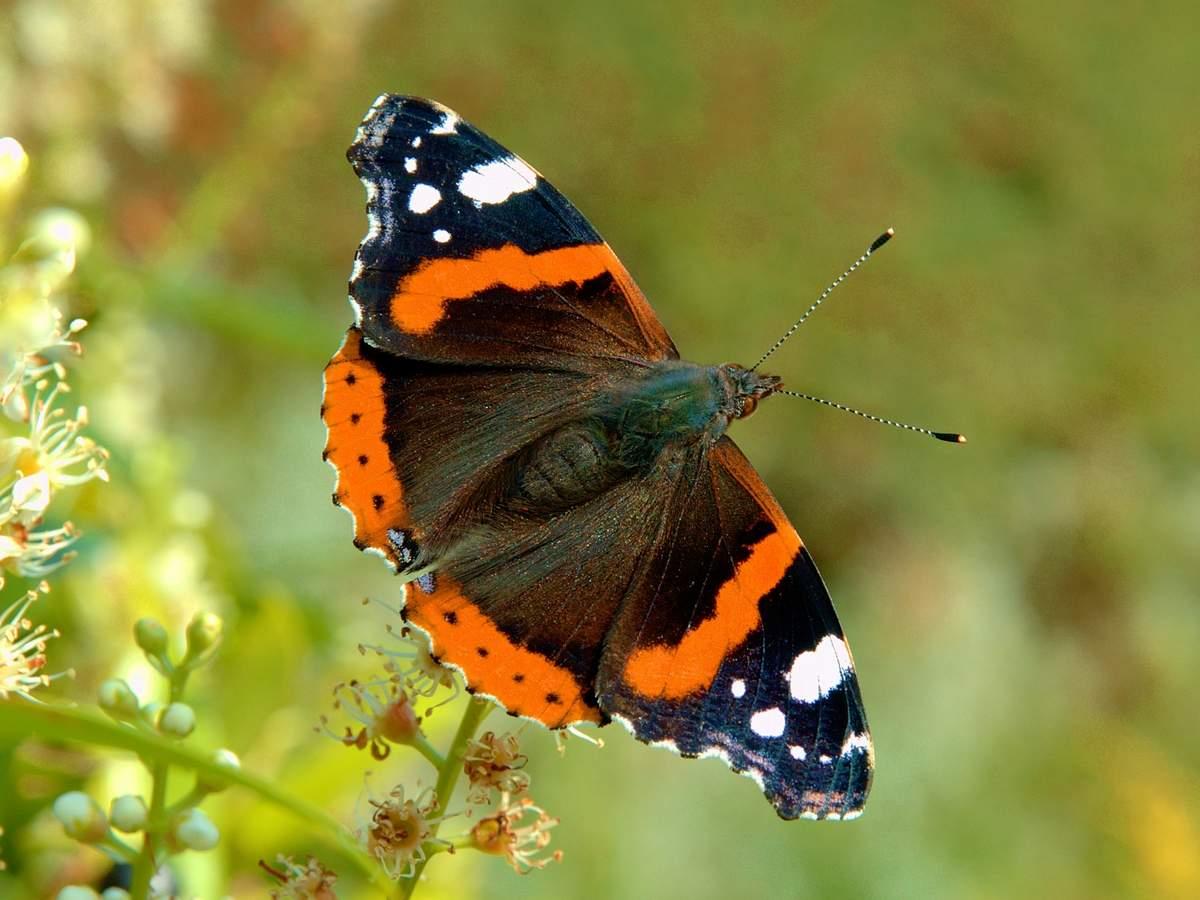 Бабочка репейница – мигрирующее насекомое