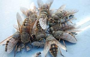 Самые опасные паразиты: подкожный овод