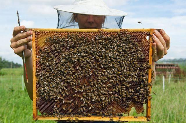 Пчелиный яд — полезные свойства и действие на организм