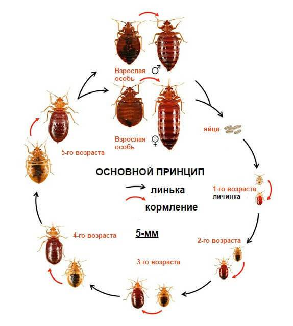 Как быстро размножаются рыжие тараканы в квартире?