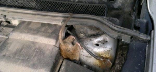 Как выгнать мышь из машины