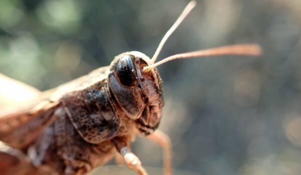 Полевой сверчок. как выглядит сверчок — фото и описание видов насекомого