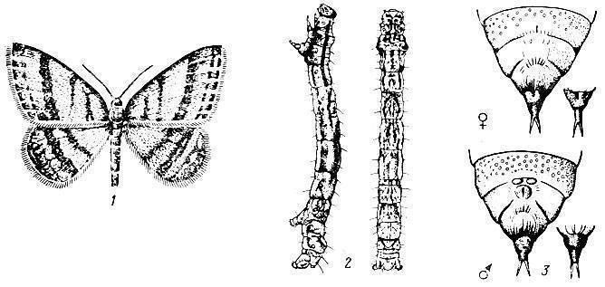 Сосновая пяденица: гусеница и бабочка. внешний вид, наносимый вред и меры борьбы