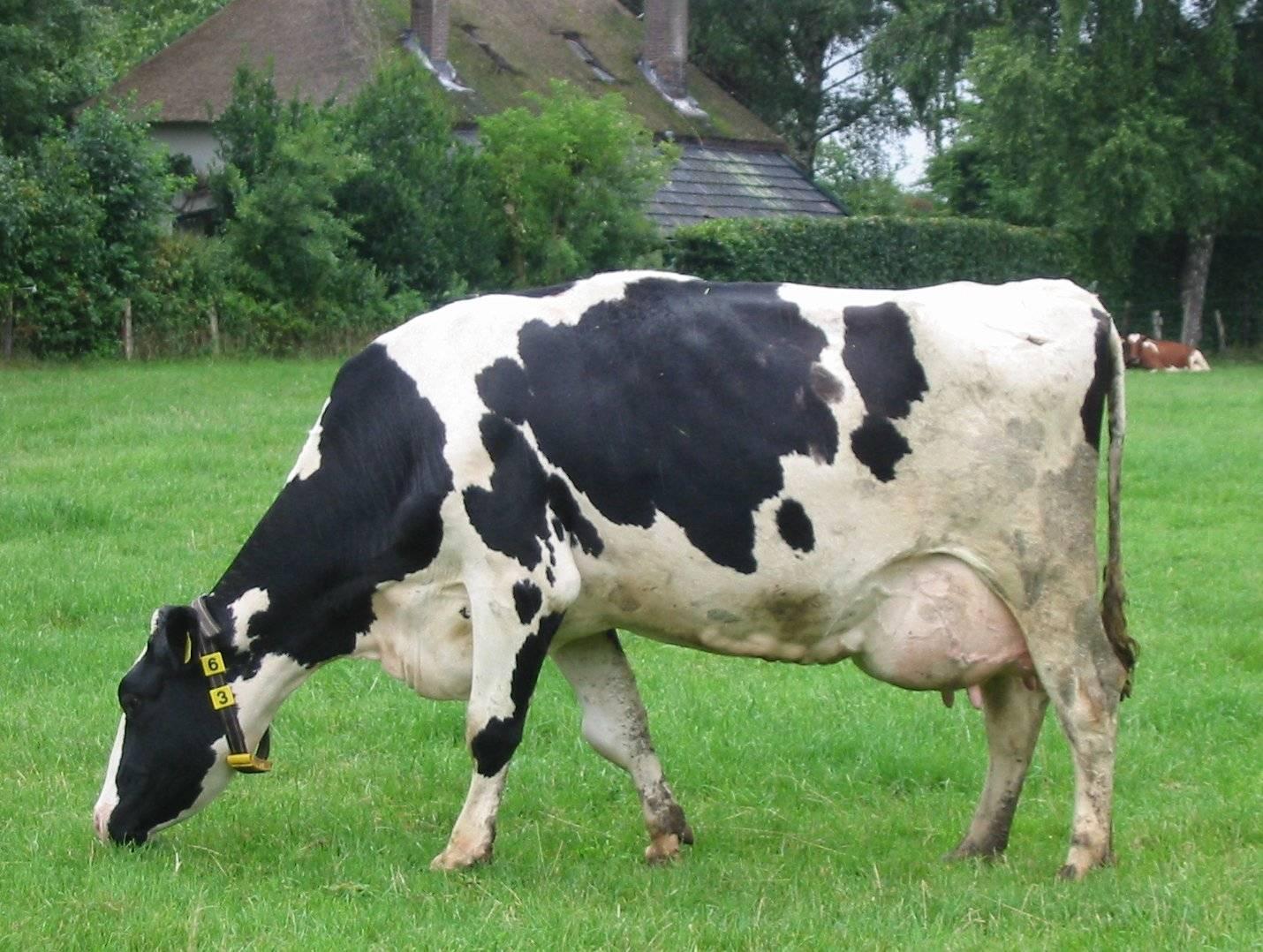 Кожные заболевания коров