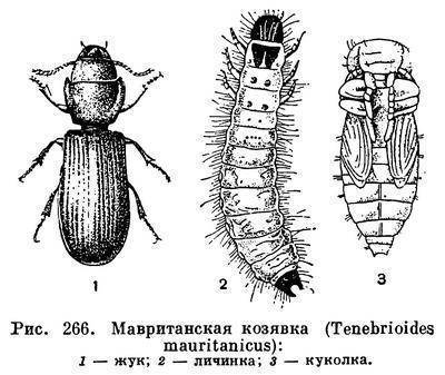 Семейство жуков листоедов: земляничный, луковый, калиновый