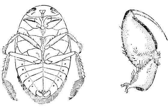 Водяные клопы: виды, среда обитания и опасность для человека