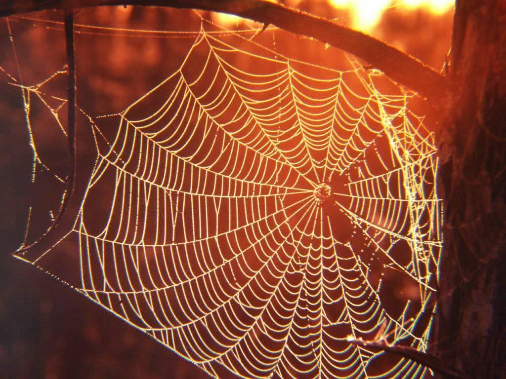 Нить водной паутины земли. как паук плетет паутину, откуда берется паутинный шелк? из чего состоит и где образуется