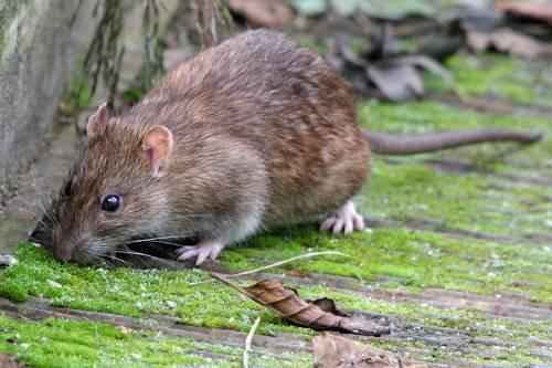 Чем опасны крысы для человека