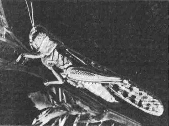 Кобылка голубокрылая – мастер маскировки среди саранчовых