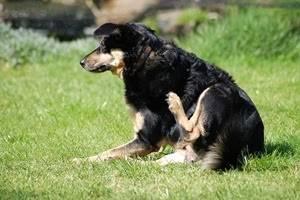 Как вывести блох у собаки народными средствами — самые эффективные способы!