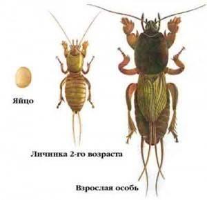 Как отличить личинки медведки и майского жука?