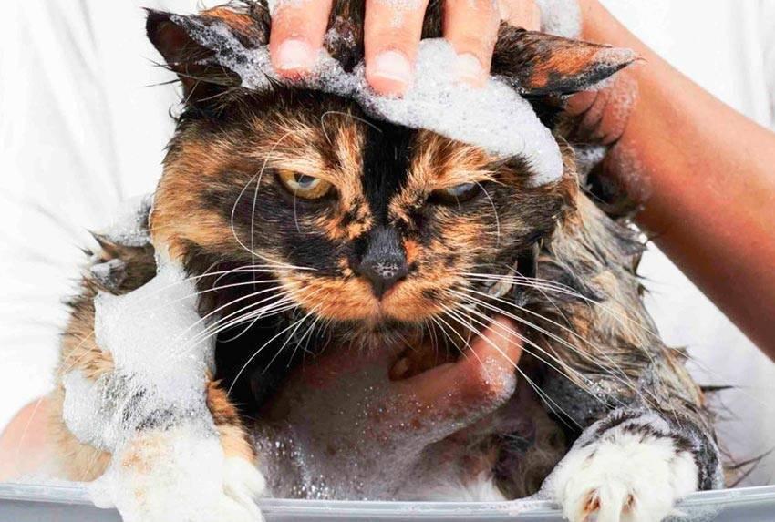 Лекарство от блох и вшей для кошки — как выбрать?